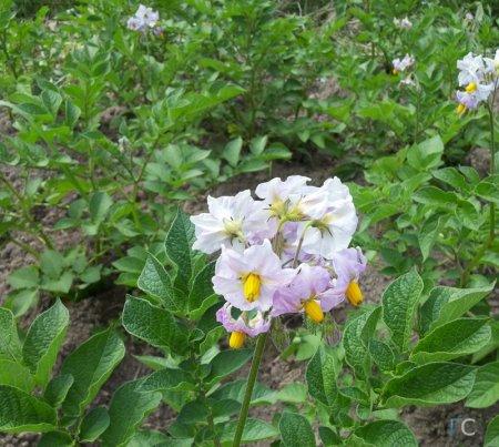 Лечебные свойства цветов картофеля