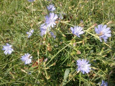Трава цикорий полезные свойства и противопоказания