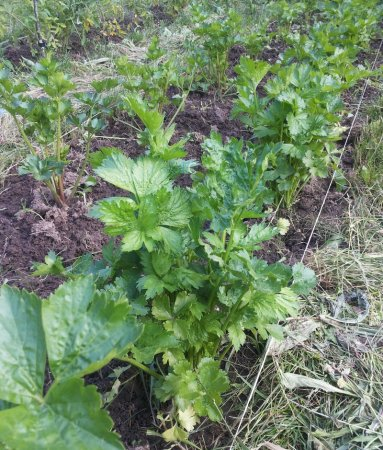 сельдерей выращивание и уход