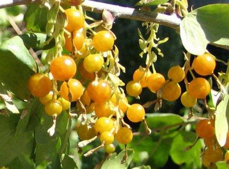 ягоды золотистой смородины