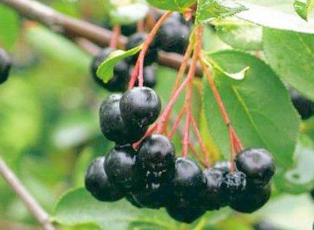 гипертония и черноплодная рябина