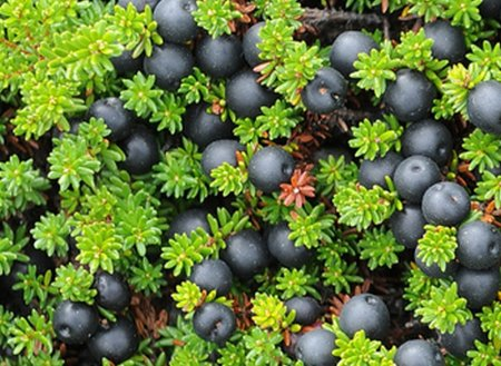 ягода шикша лечебные свойства