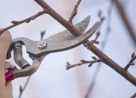 как обрезать персик