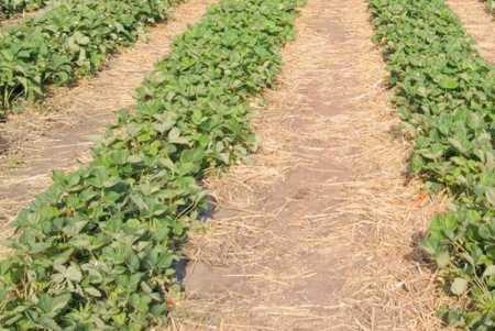 мульчирование почвы между рядами