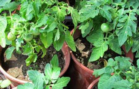 сорта низкорослых помидоров для открытого грунта