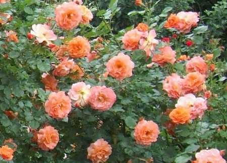 розы флорибунда в саду