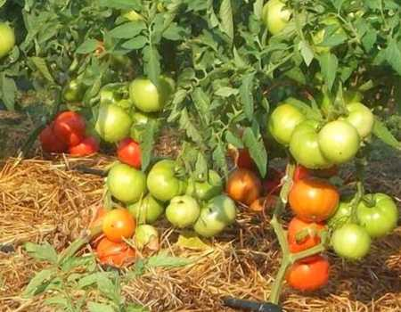 низкорослые помидоры на грядке