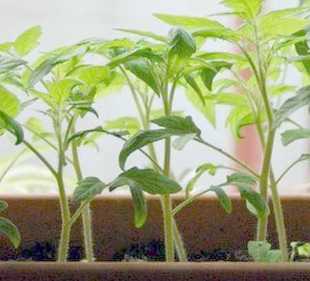 сеянцы молодых помидоров