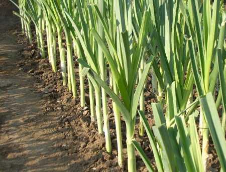 лук-порей выращивание