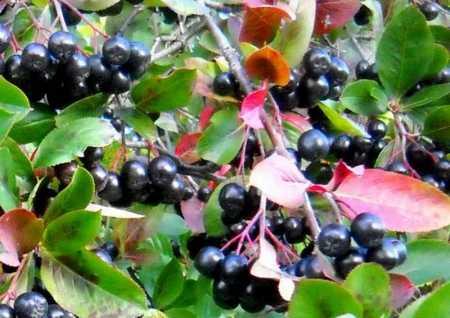 зрелая черноплодка