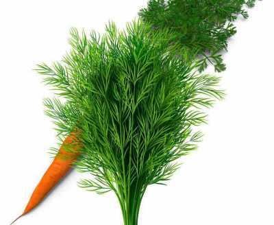 морковь и укроп на одной грядке