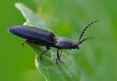 черные жуки на огороде вредители
