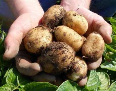 Когда созревает молодая картошка