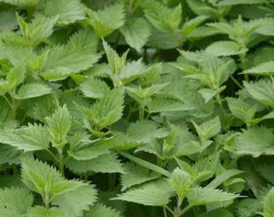 как сделать зеленое удобрение из крапивы